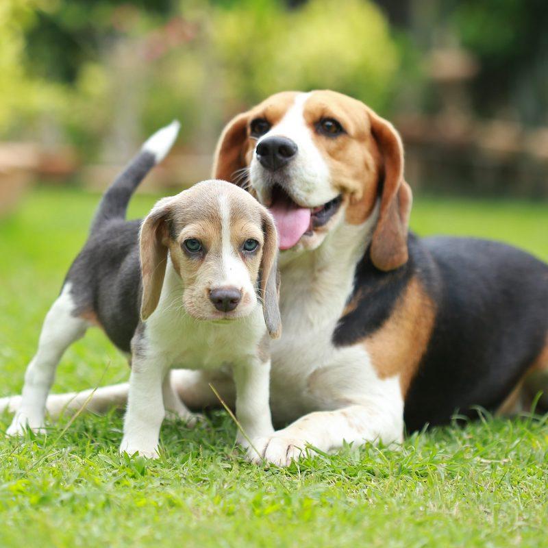 anjing beagle bahagia