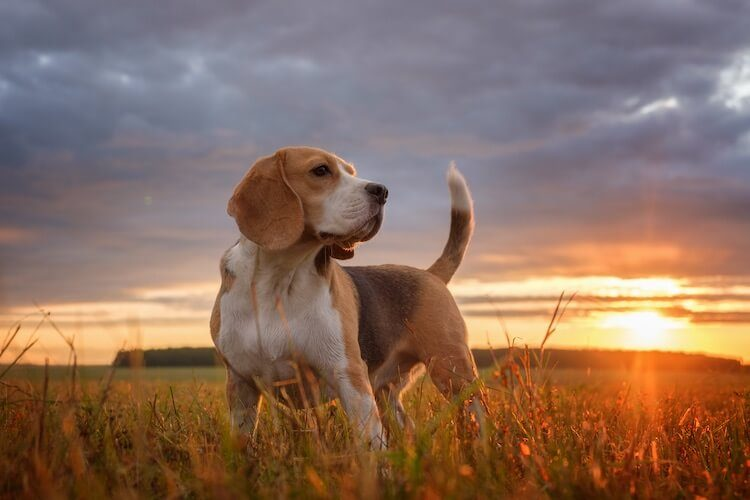 anjing beagle manis