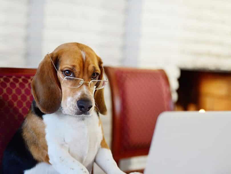 anjing beagle pintar