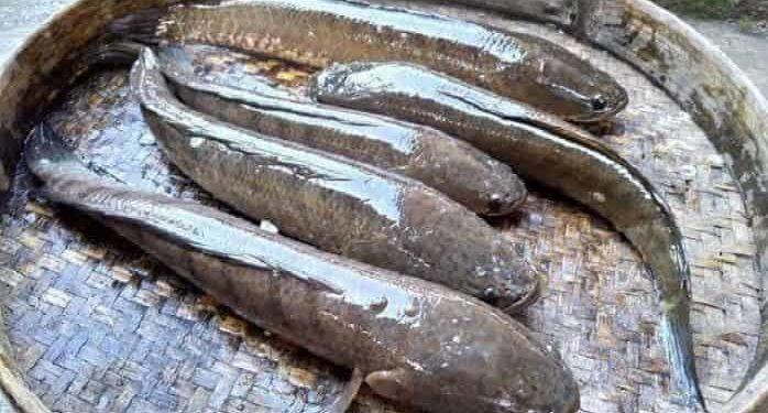 cara buat umpan ikan gabus