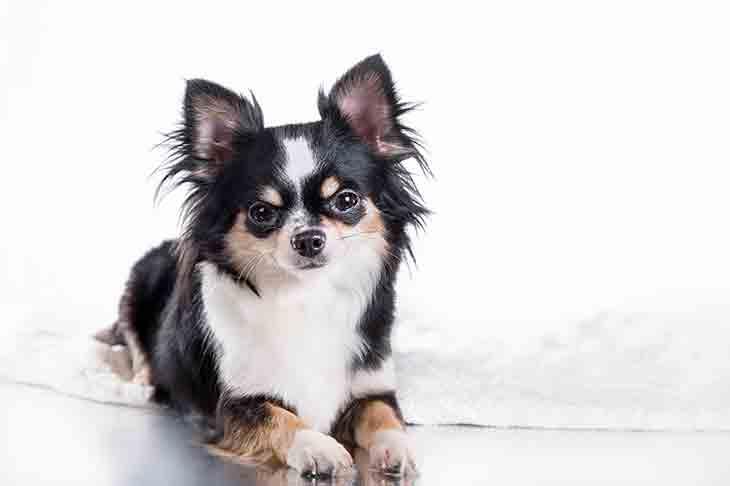 cara merawat anjing chihuahua