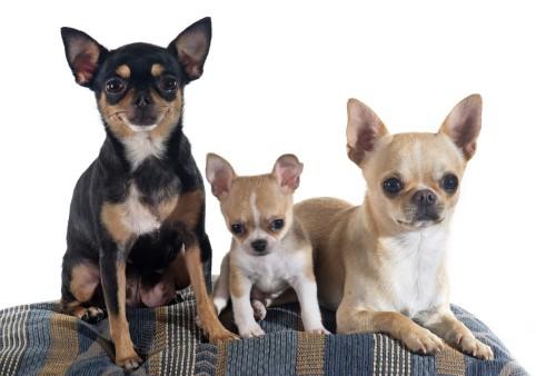 ciri ciri anjing chihuahua