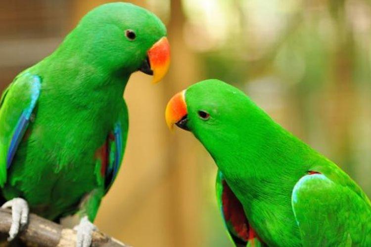 ciri ciri burung beo jantan