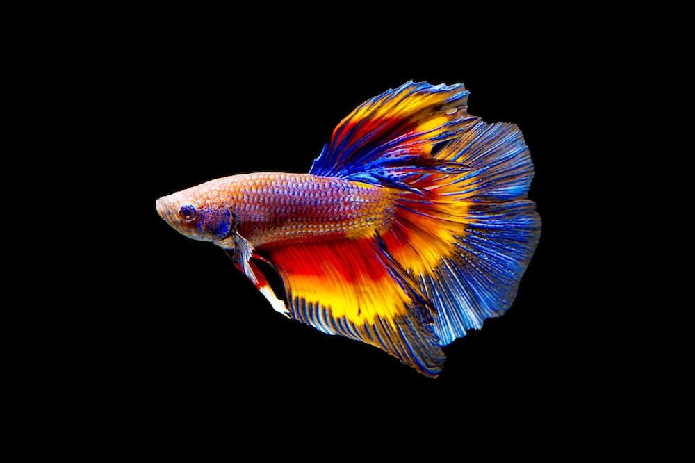 ciri ciri ikan cupang