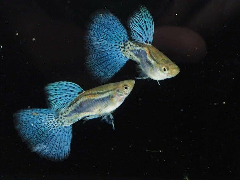 ciri ciri ikan guppy