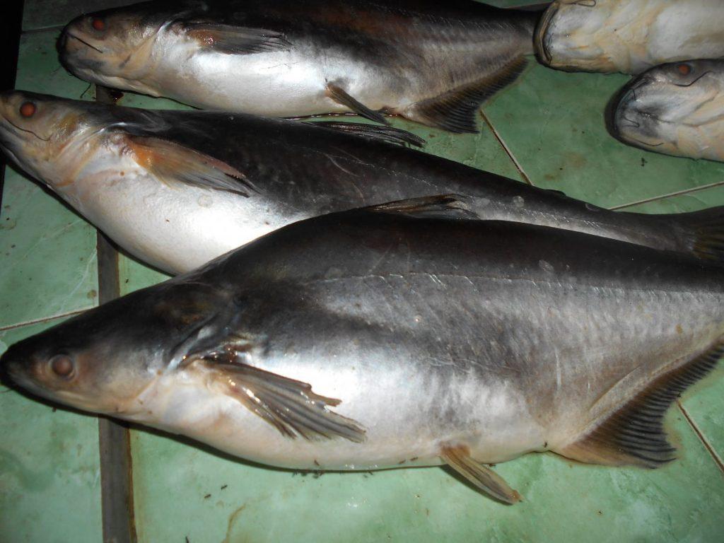 ciri ciri ikan patin