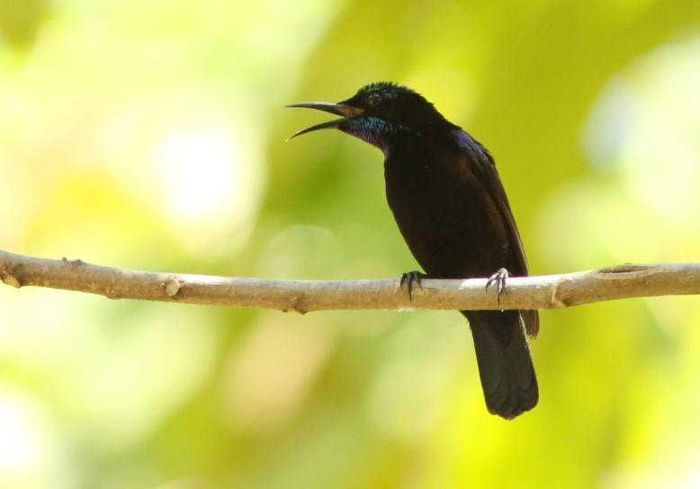 gambar burung kolibri black sunbird