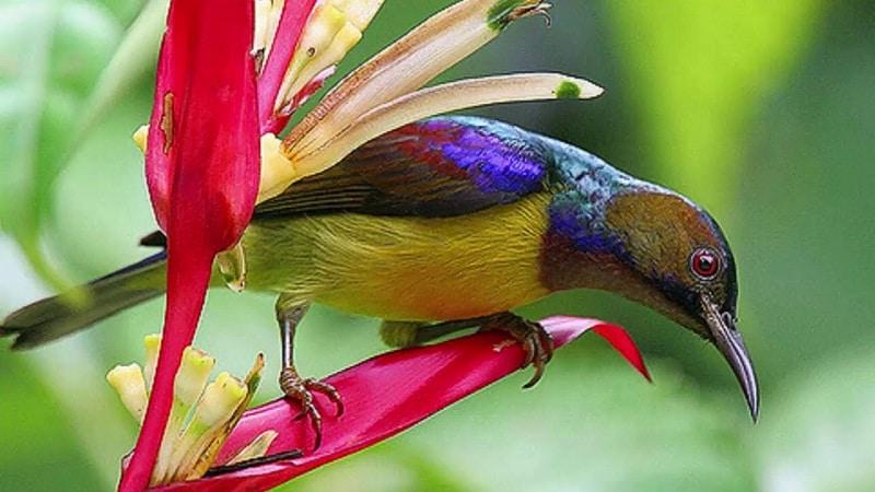gambar burung kolibri kelapa