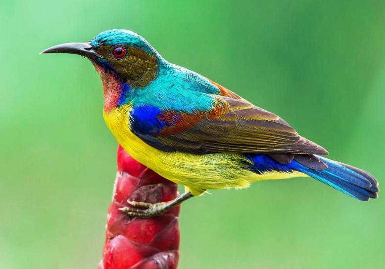 gambar burung kolibri manggar