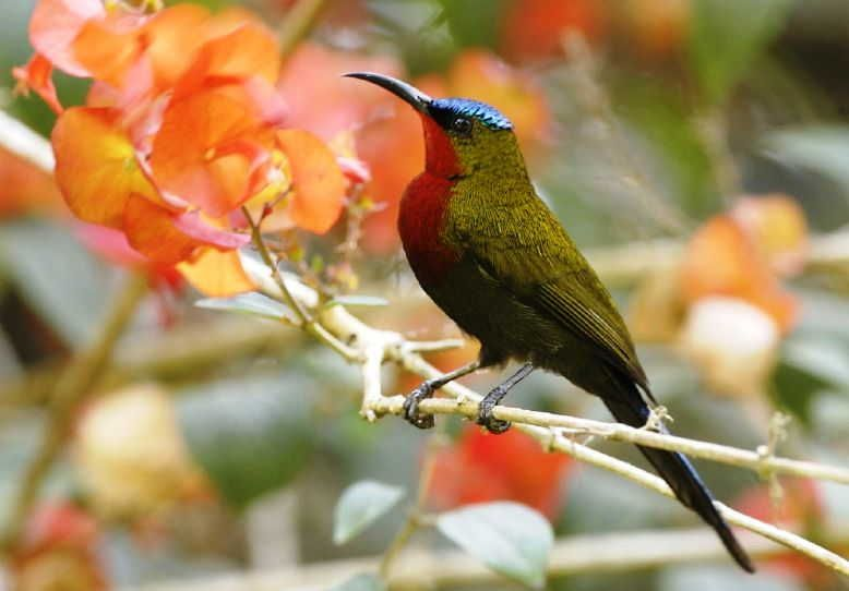 gambar burung kolibri merak gunung