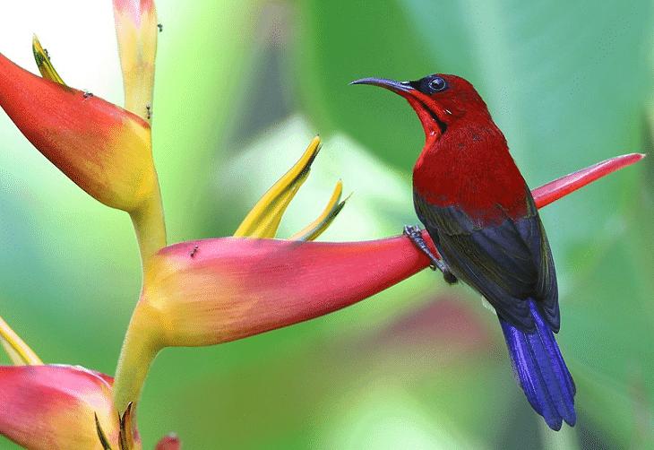 gambar burung kolibri sepah raja