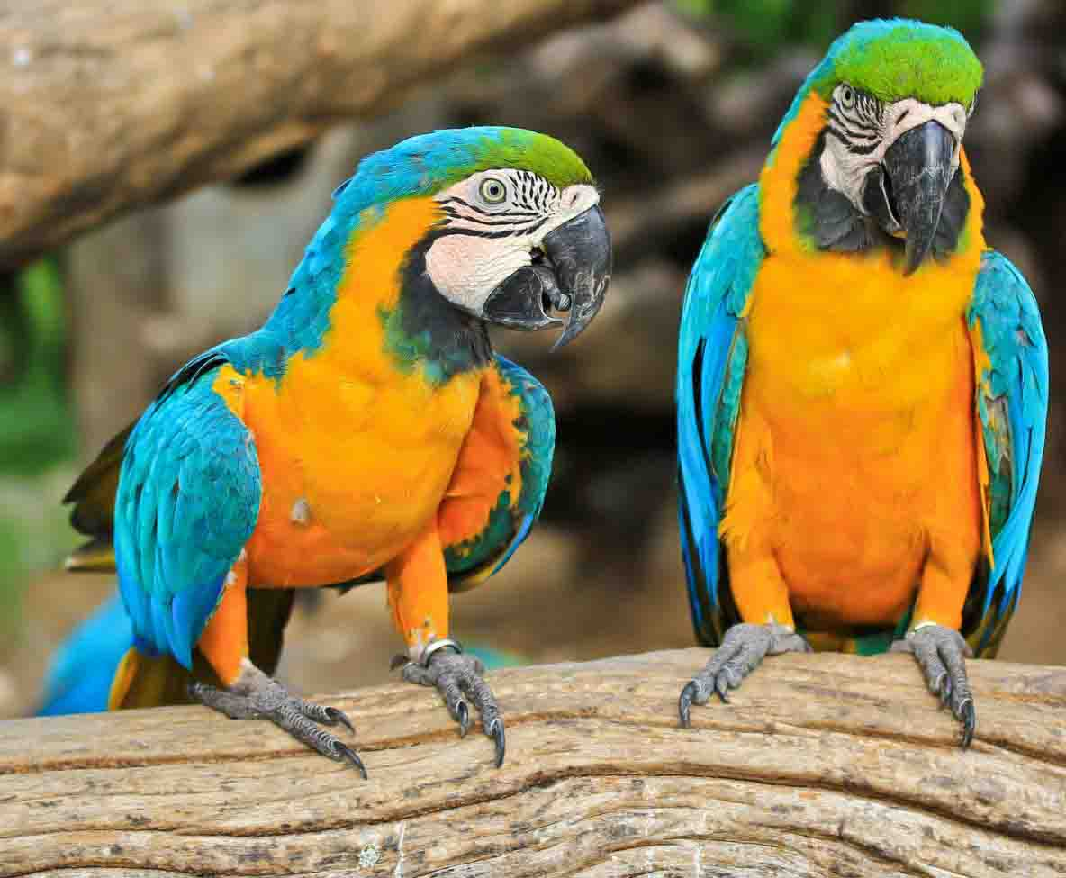 gambar burung macaw blue gold