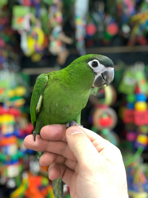 gambar burung macaw mini