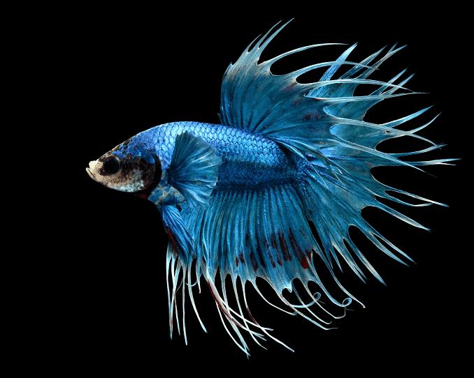 gambar ikan cupang jenis crowntail