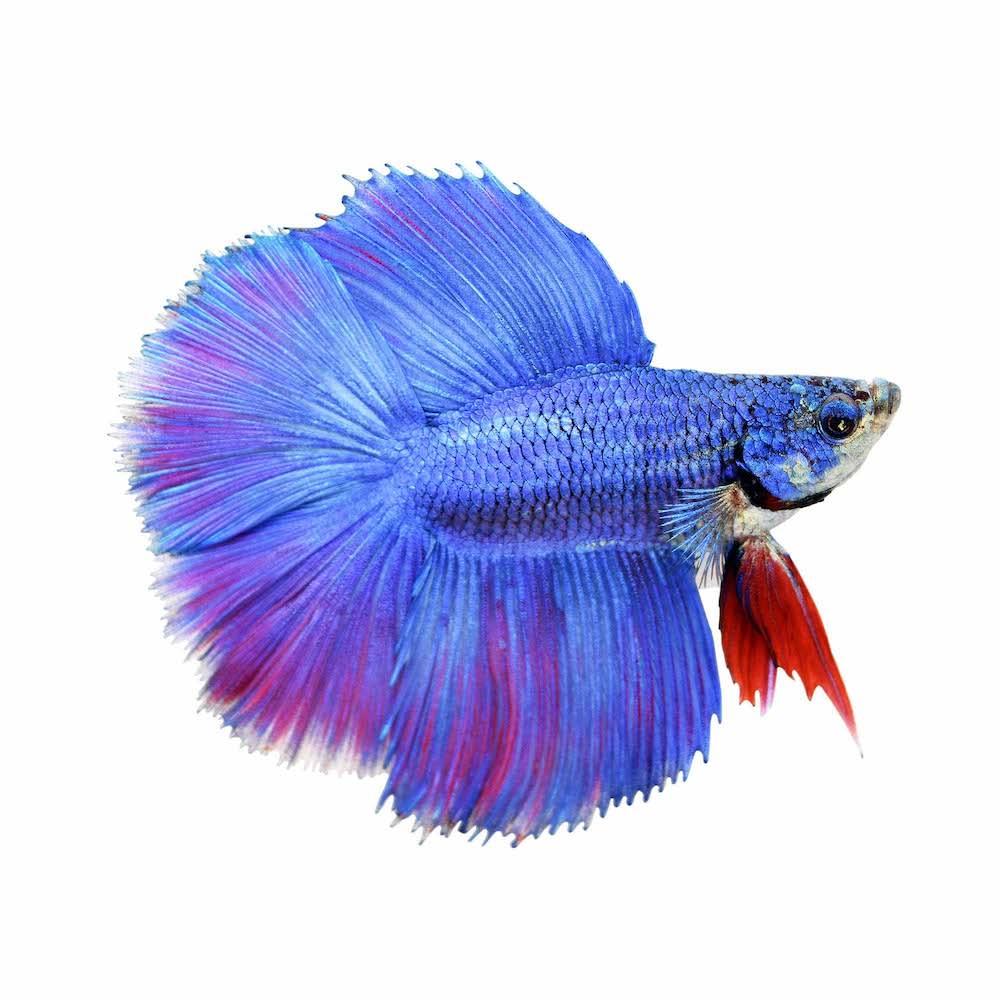 gambar ikan cupang jenis halfmoon