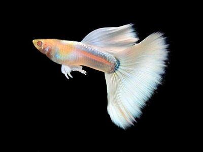gambar ikan guppy jenis albino