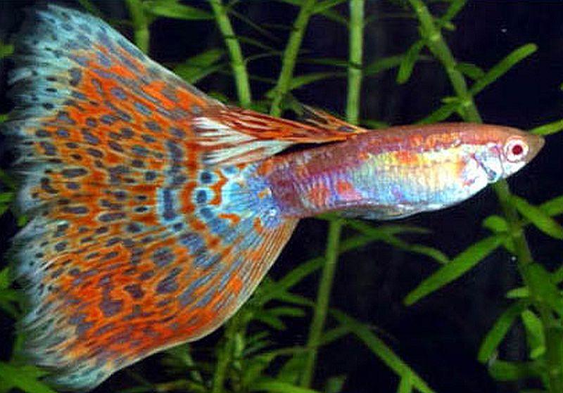 gambar ikan guppy jenis ekor segitiga