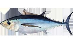 gambar ikan tuna albakora