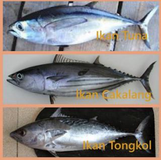 gambar ikan tuna cakalang