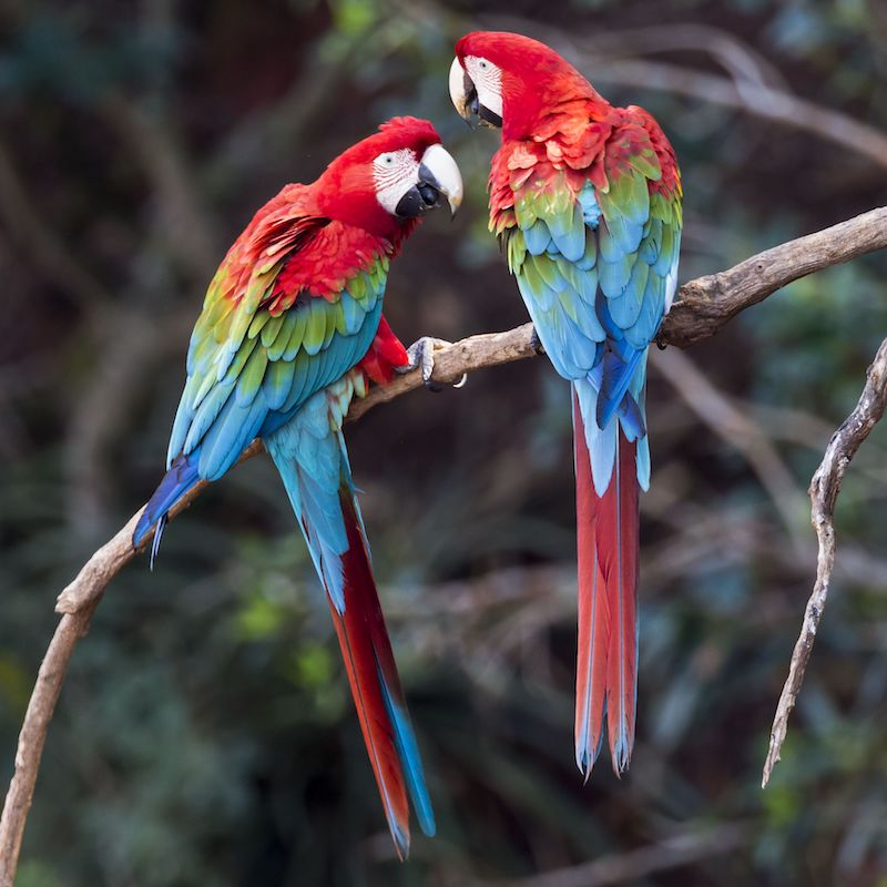 harga burung macaw