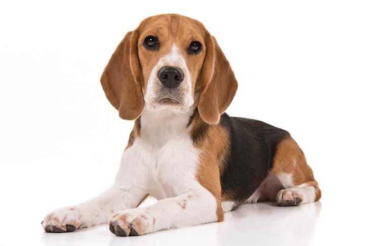 info anjing beagle