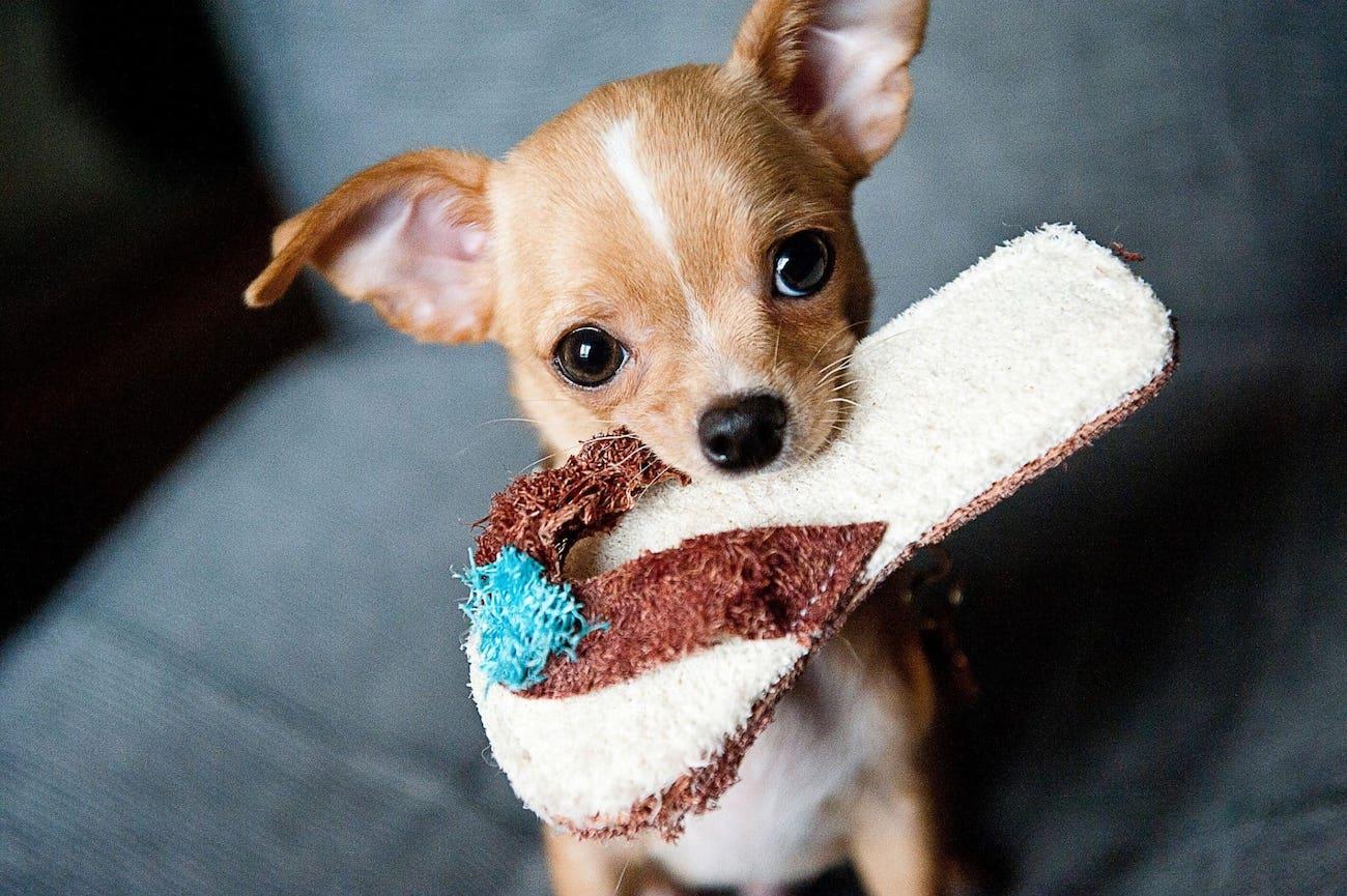 info anjing chihuahua
