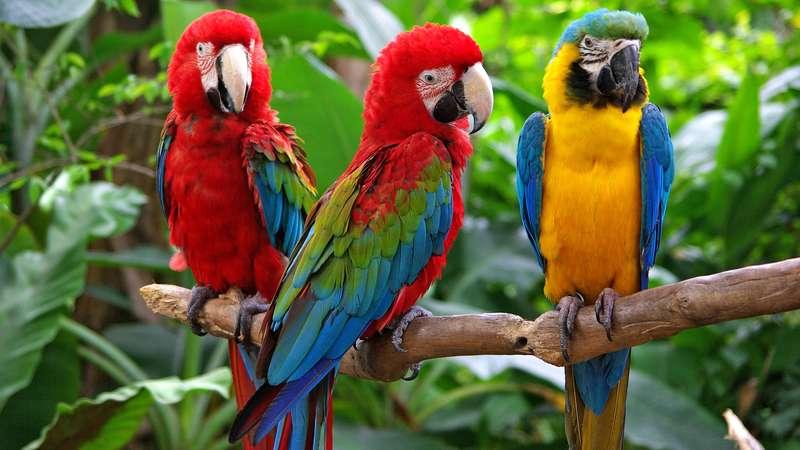 info burung macaw