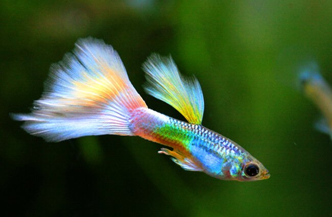 info ikan guppy