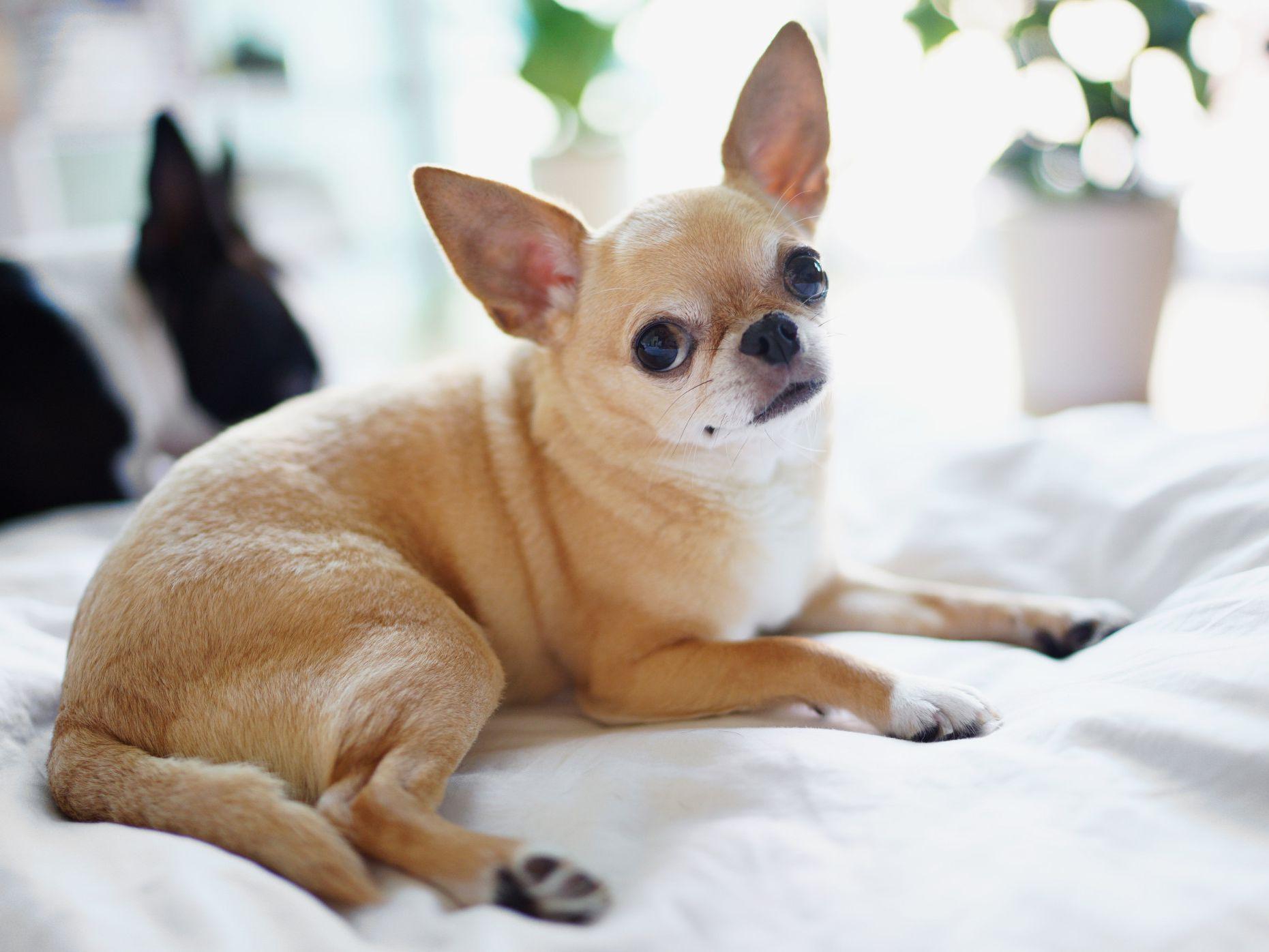 jenis anjing chihuahua