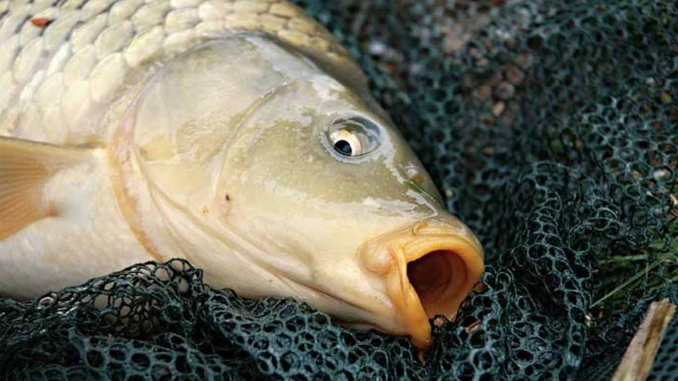 jenis ikan mas budidaya