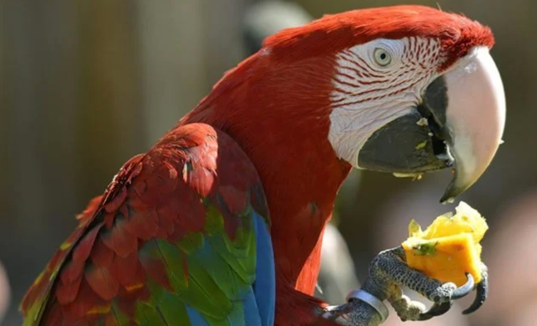 makanan burung macaw
