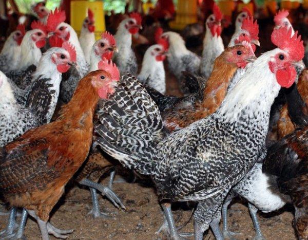 sejarah ayam kampung