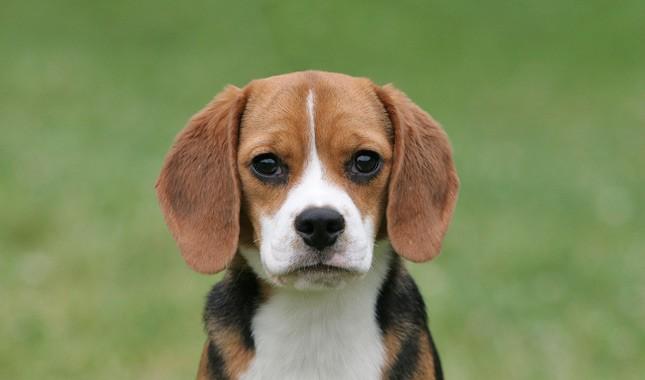 tips merawat anjing beagle