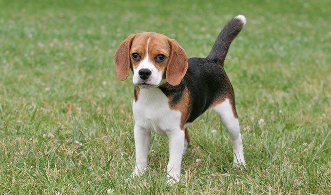 ukuran anjing beagle sedang