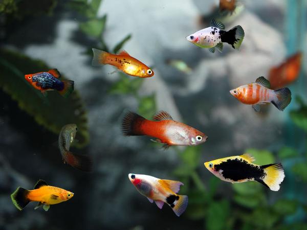 cara merawat ikan platy