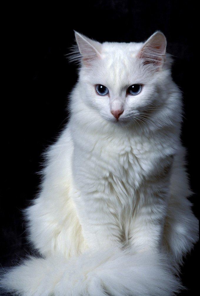ciri ciri kucing anggora