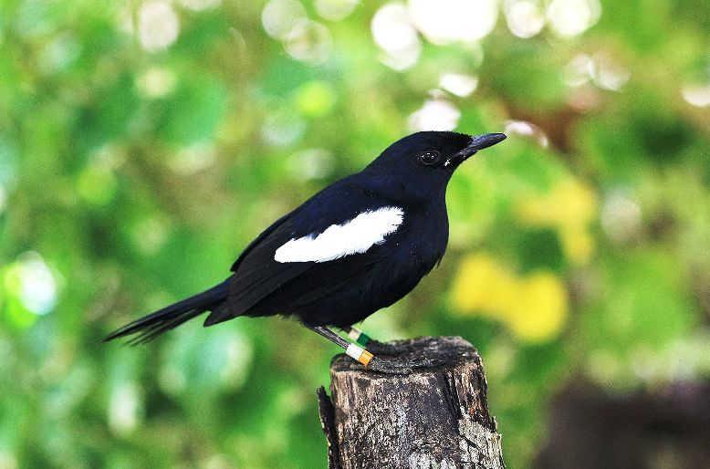 gambar burung kacer jawa