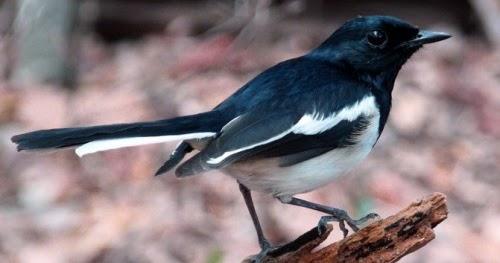 gambar burung kacer madagascar