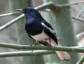 gambar burung kacer poci