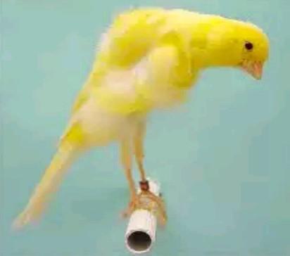 gambar burung kenari belgia