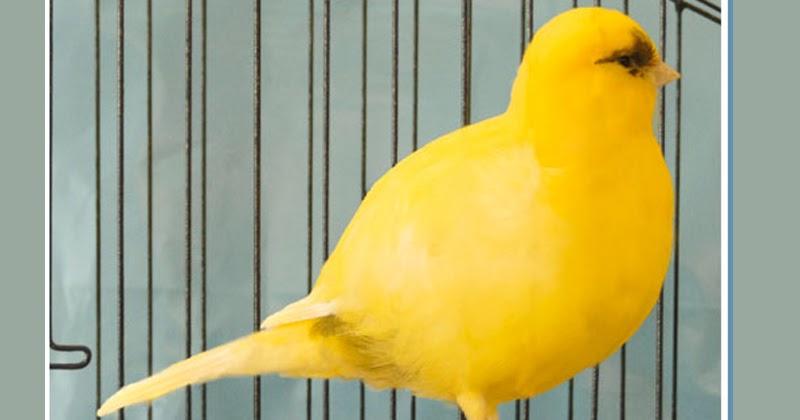 gambar burung kenari border
