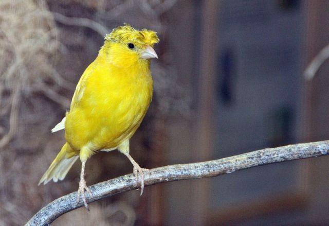 gambar burung kenari crest