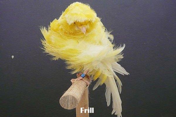 gambar burung kenari frill