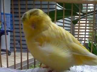 gambar burung kenari norwich