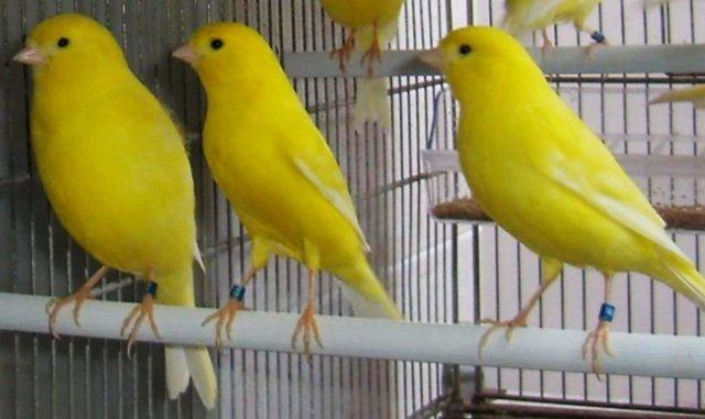 gambar burung kenari waterslager