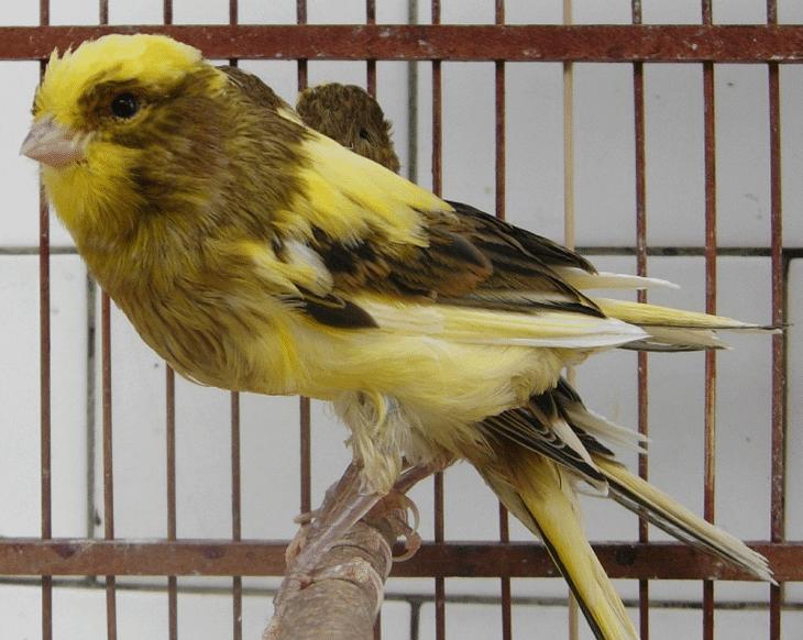 gambar burung kenari yorkshire