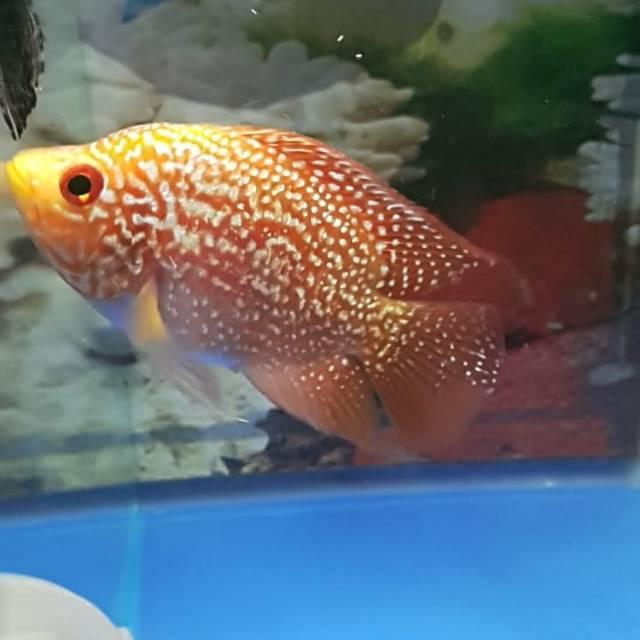 gambar ikan louhan golden base