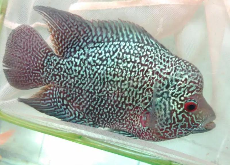 gambar ikan louhan mutiara