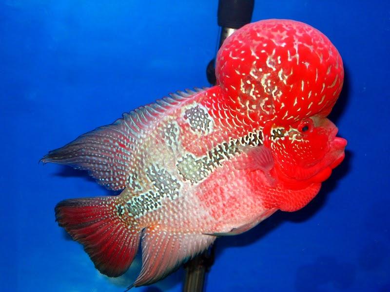 gambar ikan louhan super red dragon