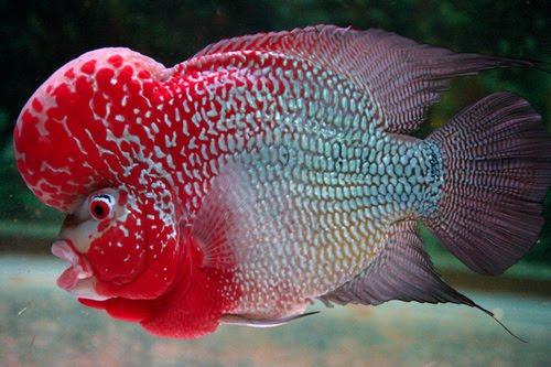 gambar ikan louhan super red magma